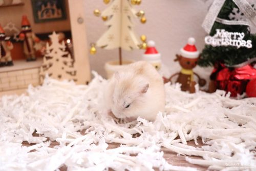イエロージャンガリアン(プティング)ハムスター茶太郎のクリスマス