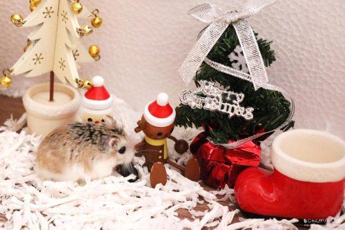 ロボロフスキーハムスターおくに クリスマス(Xmas)