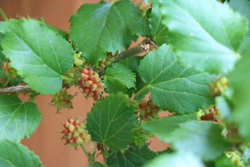 桑の葉・マルベリーの木