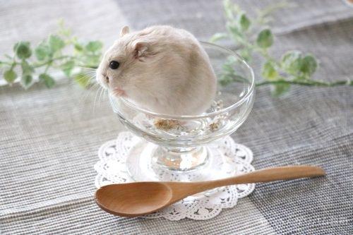 イエロージャンガリアン(プティング)ハムスター栗丸 アイスクリーム風