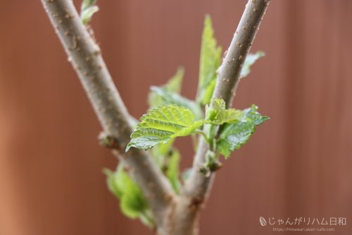 桑の木・桑の葉(マルベリー)